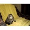 Кукольные персидские котята