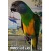 Ожереловый попугай! ! !