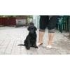 Продаем черных и палевых высокопородных щенков лабрадора