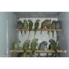 продам оливковых александрийских попугаев