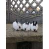 пропоную кролі калифорнийскои породи молодняк 2х місячний та 4х місячні самки та самці