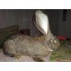 элитные кролики